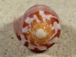 Conus circumcisus PH 5,2cm *Unikat*