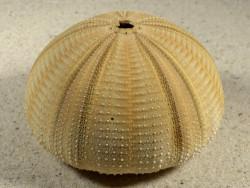 Salmacis bicolor PH 8,1cm *Unikat*