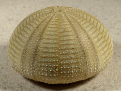 Salmacis bicolor PH 7,2cm *Unikat*