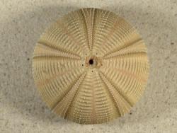 Salmacis bicolor PH 7,4cm *Unikat*