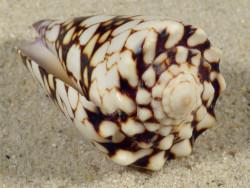 Conus vidua PH 5,1cm *Unikat*