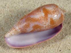 Conus tulipa PH 4,5cm *Unikat*