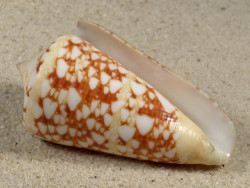 Conus ammiralis PH 6,3cm *Unikat*