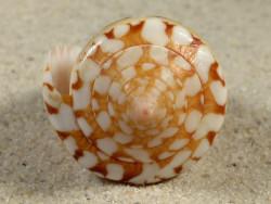 Conus ammiralis PH 6cm *Unikat*