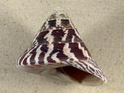 Tectus niloticus PH 9,7cm *Unikat*