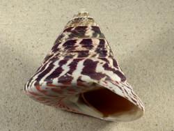 Tectus niloticus PH 9,8cm *Unikat*