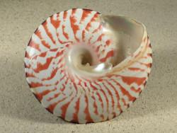 Tectus niloticus PH 9,1cm *Unikat*