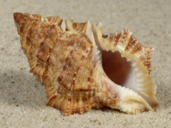 Bursina nobilis PH 5,9cm *Unikat*