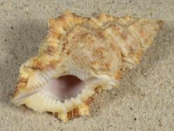 Bursina nobilis PH 7,5cm *Unikat*