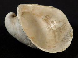 Capulus ungaricus Pliozän IT 4,3cm *Unikat*