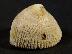Crucibulum chipolanum Miozän US 2,3cm *Unikat*