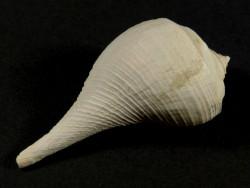 Pyruella cf. harasewychi Pliozän US 4,7cm *Unikat*